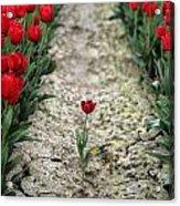 Red Tulips Acrylic Print by Jim Corwin