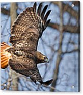 Redtail Hawk Acrylic Print by Bill Wakeley