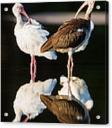 Reflection Of Two Young Ibis Acrylic Print by Andres Leon