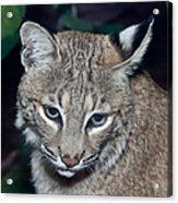 Reflective Bobcat Acrylic Print by John Haldane
