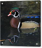 Reflective Wood Duck Acrylic Print by Deborah Benoit