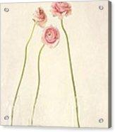 Renoncules Acrylic Print by Priska Wettstein