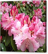 Rhododendron Garden Art Prints Pink Rhodie Flowers Acrylic Print by Baslee Troutman