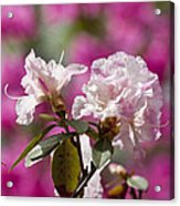 Rhododendron Acrylic Print by Steven Ralser