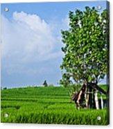 Rice Fields Acrylic Print by Nila Newsom