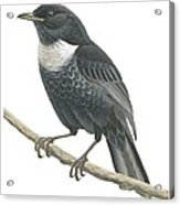 Ring Ouzel  Acrylic Print by Anonymous