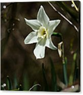 Roadside White Narcissus Acrylic Print by Rebecca Sherman