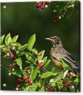 Robin And Berries Acrylic Print by Mircea Costina Photography
