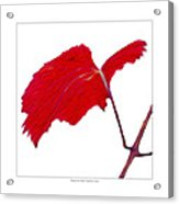 Roger's Red Grape Leaf Acrylic Print by Saxon Holt