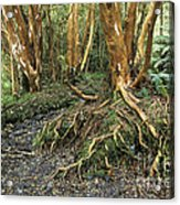 Roots Acrylic Print by James Brunker