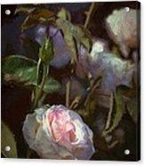 Rose 122 Acrylic Print by Pamela Cooper