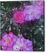 Rose 189 Acrylic Print by Pamela Cooper