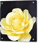 Rose 196 Acrylic Print by Pamela Cooper