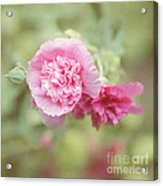 Rose Of Sharon Acrylic Print by Kay Pickens