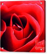 Rose Red Acrylic Print by Darren Fisher