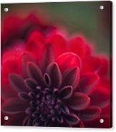 Rouge Dahlia Acrylic Print by Mike Reid