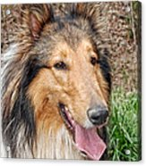 Rough Collie Acrylic Print by Kenny Francis