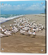 Royal Terns On The Beach Acrylic Print by Kim Hojnacki