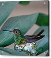 Rufous-tailed Hummingbird On Nest Acrylic Print by Gregory G Dimijian MD