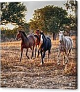 Running Horses Acrylic Print by Kristina Deane
