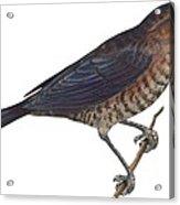 Rusty Blackbird  Acrylic Print by Anonymous