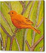 Saffron Finch Acrylic Print by Anna Skaradzinska