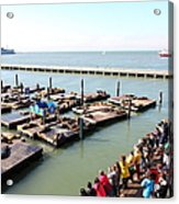 San Francisco Pier 39 Sea Lions 5d26109 Acrylic Print by Wingsdomain Art and Photography