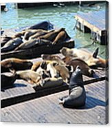 San Francisco Pier 39 Sea Lions 5d26113 Acrylic Print by Wingsdomain Art and Photography