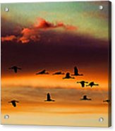 Sandhill Cranes Take The Sunset Flight Acrylic Print by Bill Kesler