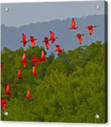 Scarlet Ibis Acrylic Print by Tony Beck