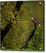 Screaming Eagle Acrylic Print by Thomas Young