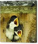Screaming Hungry Acrylic Print by Christina Rollo