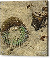 Sea Anenome Half Buried In The Sand Acrylic Print by Artist and Photographer Laura Wrede