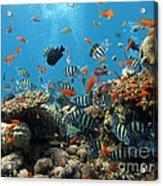 Sea Life Acrylic Print by Boon Mee