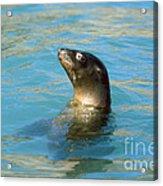 Sea Lion Acrylic Print by James L. Amos