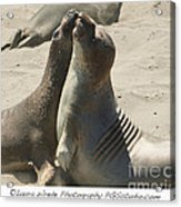 Sea Lion Love From The Book My Ocean Contact Laura Wrede To Purchase This Print Acrylic Print by Artist and Photographer Laura Wrede
