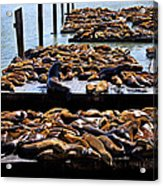 Sea Lions At Pier 39  Acrylic Print by Garry Gay