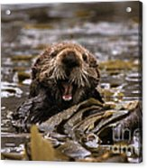 Sea Otters Acrylic Print by Ron Sanford