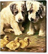 Sealyham Puppies And Ducklings Acrylic Print by Lilian Cheviot