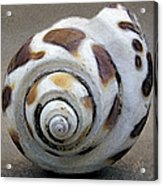 Seashells Spectacular No 2 Acrylic Print by Ben and Raisa Gertsberg