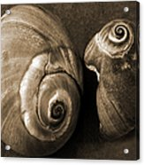 Seashells Spectacular No 6 Acrylic Print by Ben and Raisa Gertsberg