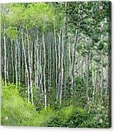 Seasons Of The Aspen Acrylic Print by Carol Cavalaris