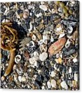 Seaweed And Shells Acrylic Print by Steven Ralser