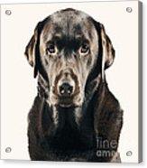 Serious Chocolate Labrador Acrylic Print by Justin Paget