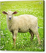 Sheep In Summer Meadow Acrylic Print by Elena Elisseeva