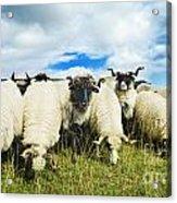 Sheep In The Field Acrylic Print by Jelena Jovanovic