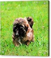 Shih Tzu Puppy Acrylic Print by Darren Fisher