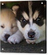 Siberian Husky Pups Acrylic Print by Benita Walker