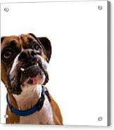 Silly Boxer Dog Acrylic Print by Stephanie McDowell