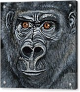 Silverback Acrylic Print by Janis  Cornish